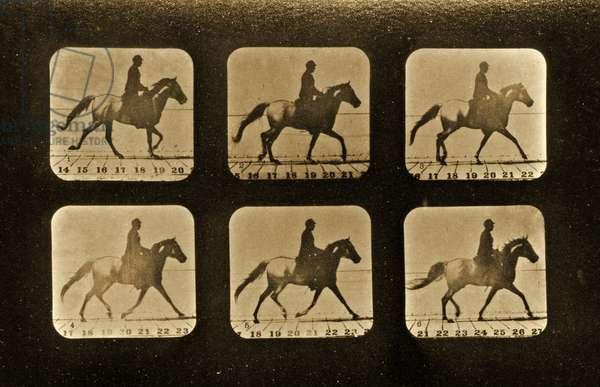 Horses. Irregular, 'Animal Locomotion' series, c.1881 (b/w photo)
