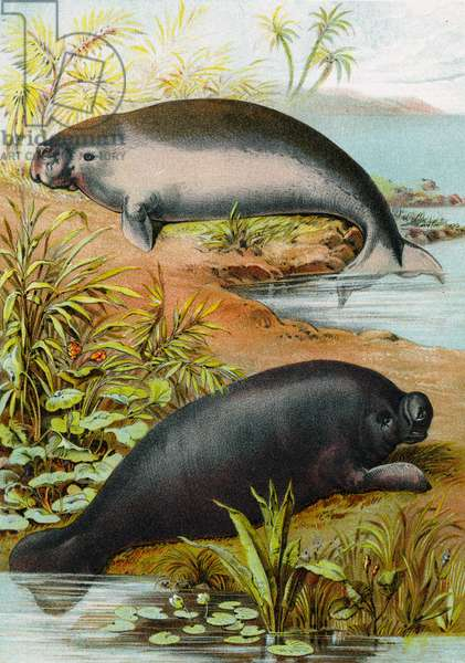 Manatee and Dugong, c.1880 (colour litho)