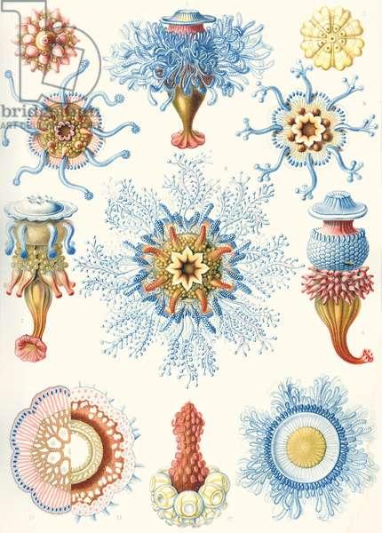 Examples of Siphonophorae from  'Kunstformen der Natur', 1899 (colour litho)