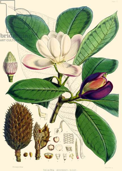 Magnolia hodgsonii, 1855 (coloured engraving)