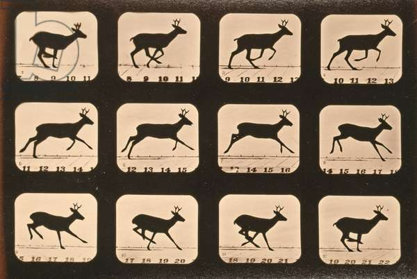Image sequence of a Deer running, 'Animal Locomotion' series, c.1881 (b/w photo)