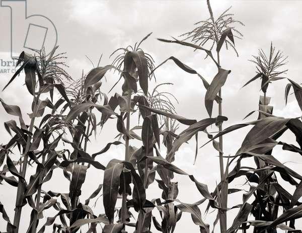 Corn Field, Washington County, Mississippi. 1936 (b/w photo)