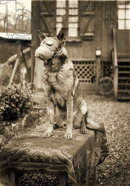 German Shepherd Dog wearing a gas mask, c.1917 (photo)