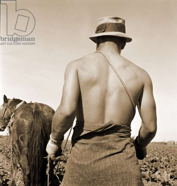 Spring plowing the Cauliflower fields, Guadalupe, California. 1936 (b/w photo)