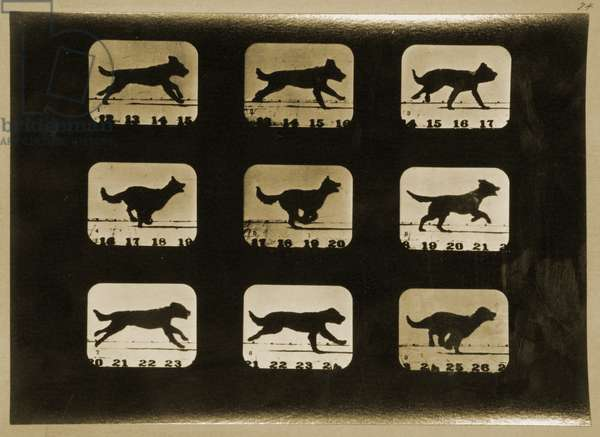 Dogs Running, from the 'Animal Locomotion' series, c.1881 (b/w photo)