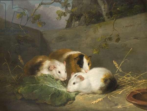 Guinea Pigs, 1792 (oil on canvas)