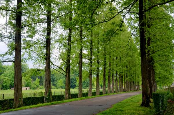 Dawn redwood - Avenue