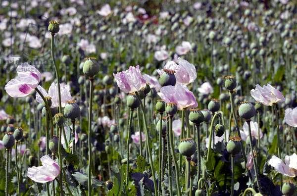 Tasmania opium poppy cultivation