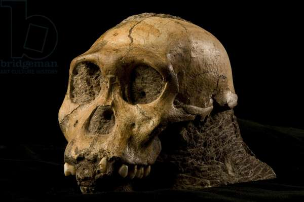The skull of a ten to 13 year old adolescent (photo)