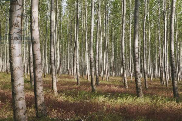 A poplar tree plantation or forest in Oregon, USA