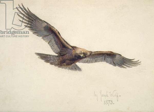 Eagle in flight, 1873 (w/c on paper)