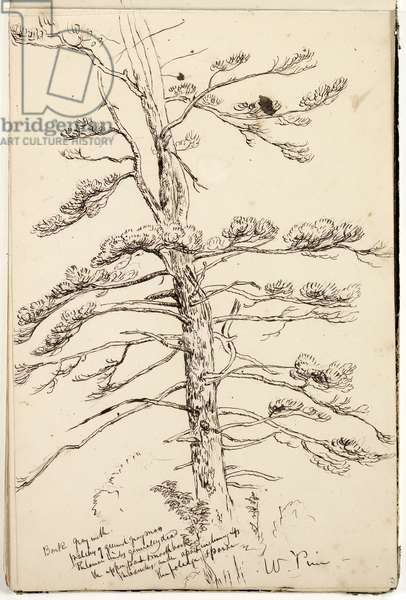 White Pine, c.1832 (pen & ink over pencil on paper)