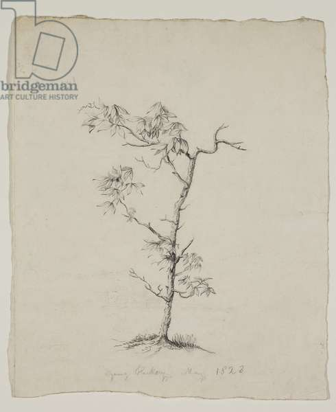 Young Hickory, 1823 (graphite pencil on off-white wove paper)