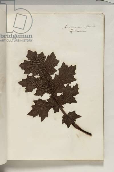 Acanthus Leaf from the Coliseum, c.1832 (pen & ink with plant specimen on paper)