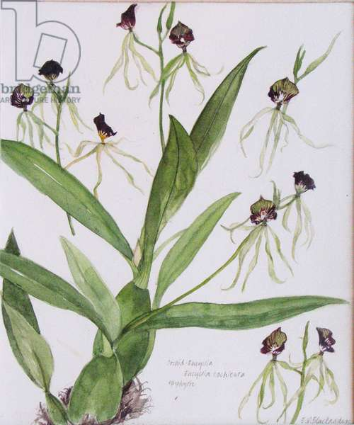 Orchid Encyclia Cochleata (w/c on paper)