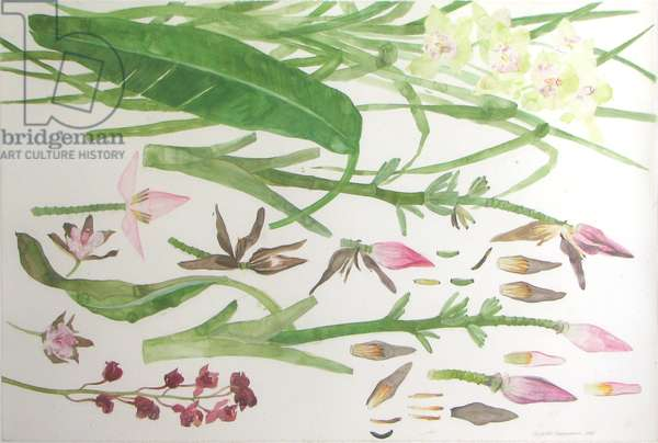 Orchids and Bananas (w/c on paper)
