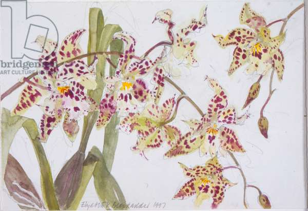 Little Orchid, 1997 (w/c on paper)