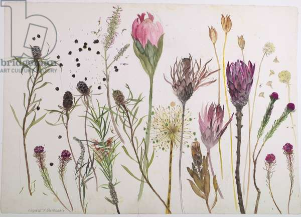 Australian Plants and Seed Heads (w/c on paper)