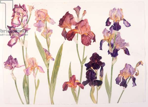 Irises, 2004 (w/c on paper)