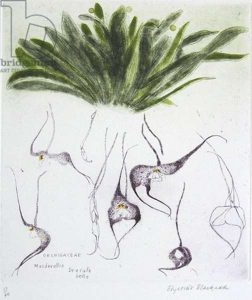 Orchidaceae Masdevallia Dracula Bella (coloured etching)