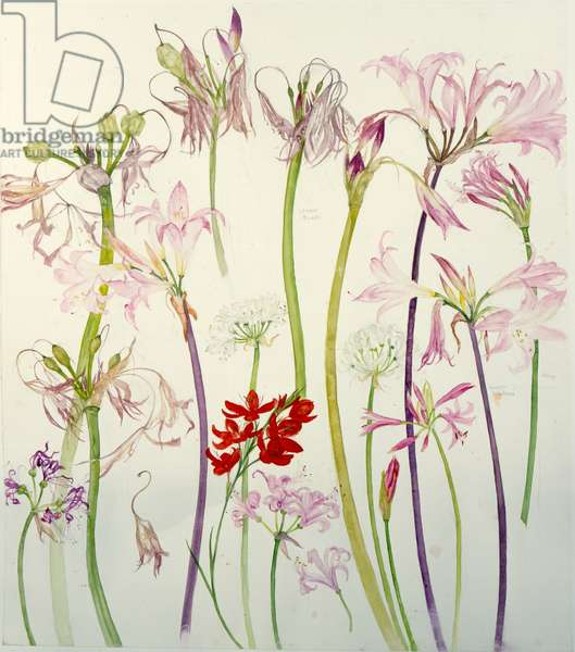 Crinums, Nerines and Other Flowers (w/c on paper)