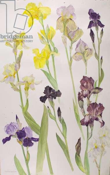 Irises, 2008 (w/c on paper)