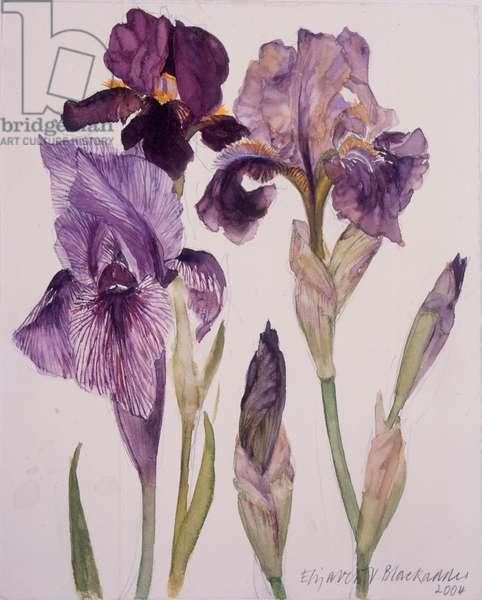 Three Irises, 2004 (w/c on paper)