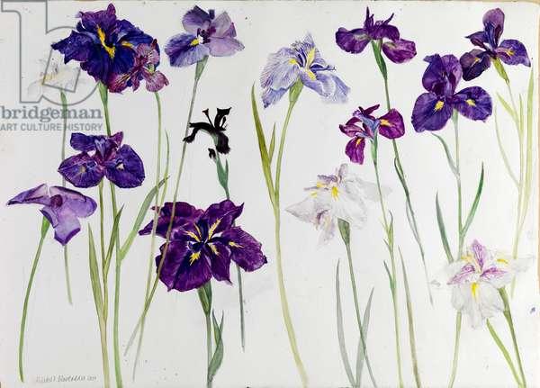 Irises, 2009 (w/c on paper)