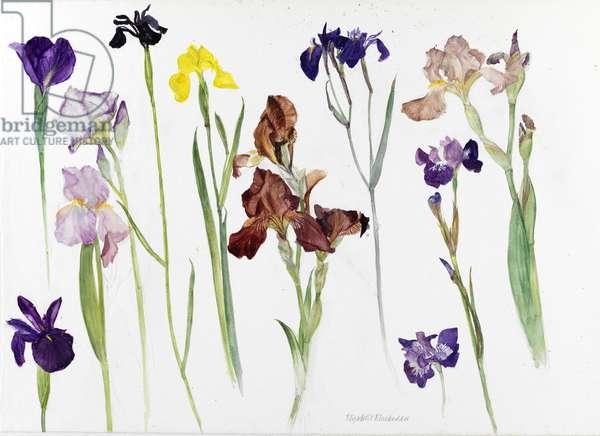 Irises (w/c on paper)