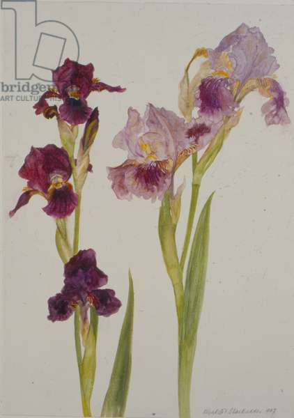 Irises, 1997 (w/c on paper)