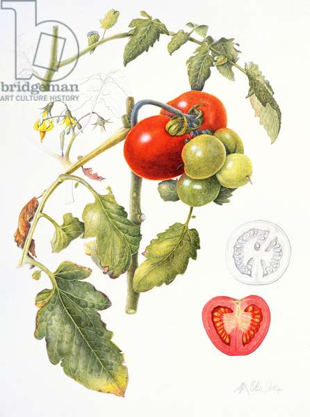 Tomatoes, 1994 (w/c & pencil on paper)