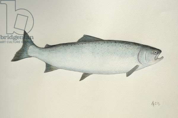 Salmon, 2013, (watercolour paint and pencil)