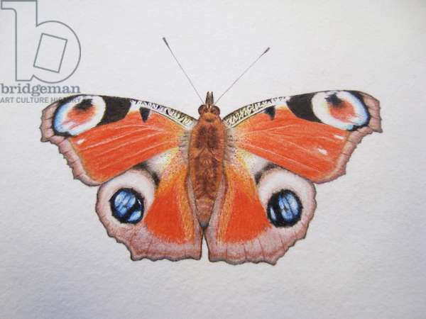 Peacock Butterfly, 2012 (watercolour paint and pencil)
