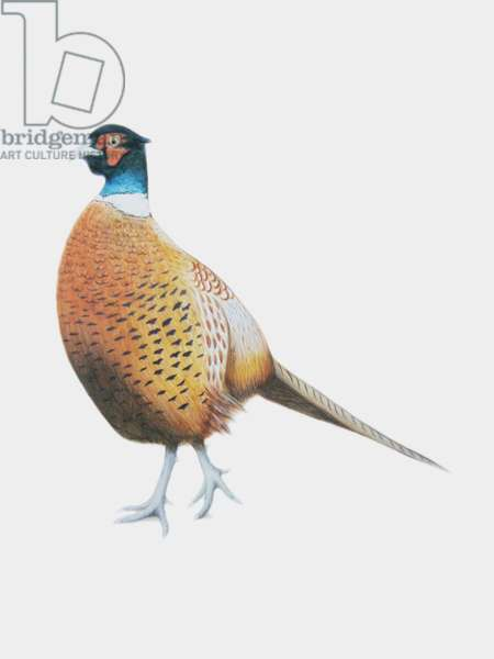 Pheasant, 2012 (watercolour paint and pencil)