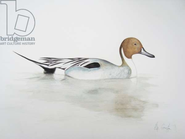 Pintail Duck, 2011 (watercolour paint and pencil)