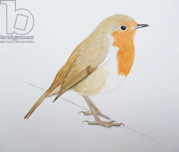 Robin, 2011 (watercolour paint and pencil)