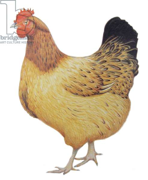 Chicken, 2012 (watercolour paint and pencil)