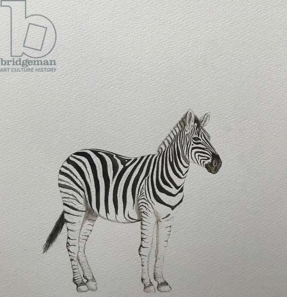 Zebra, 2018, (watercolour pencil and paint)