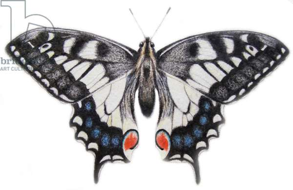 Swallowtail, 2012 (watercolour paint and pencil)