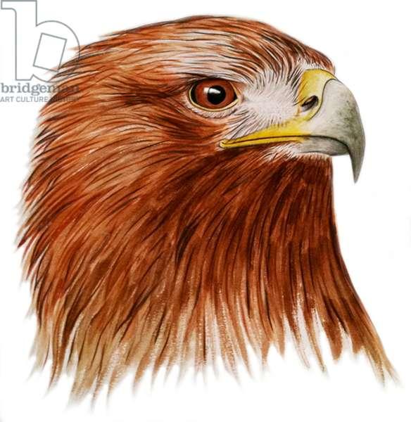 Golden Eagle, 2011 (watercolour paint and pencil)