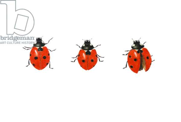 Three ladybirds, 2013 (watercolour paint and pencil)