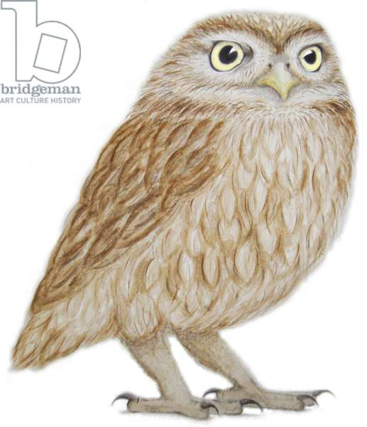 Little Owl, 2011 (watercolour paint and pencil)