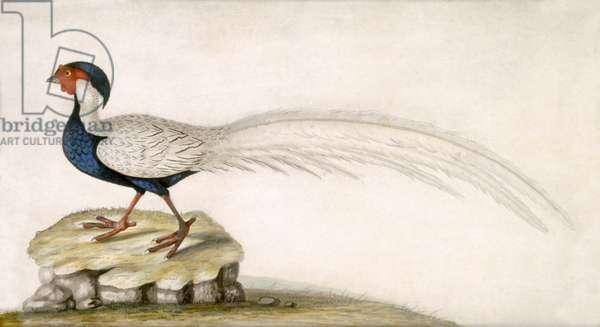 Pheasant (w/c on paper)