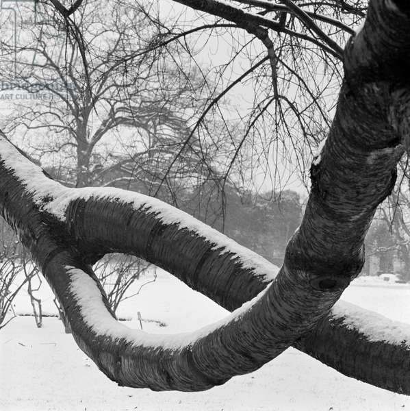 Kew, Greater London: two curving tree branches forming a loop covered in snow in a snowy landscape, 1962-64 (b/w photo)