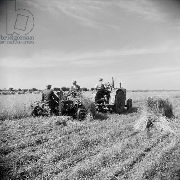 Harvesting flax, fields near Paston, Norfolk, July 1946 (b/w photo)