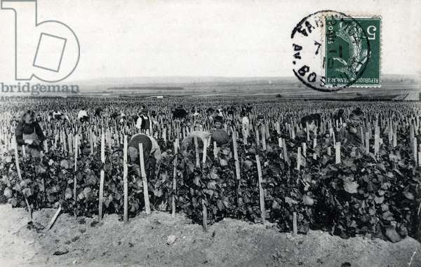 Champagne harvest: grape picking) Postcard 1910 Private collection