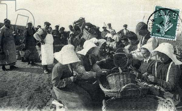 Champagne harvest: peeling the grapes on the shelf postcard 1910 Private collection