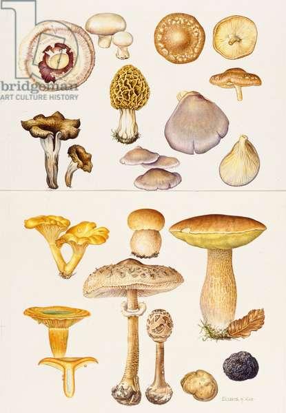 Mushrooms and Truffles (w/c)