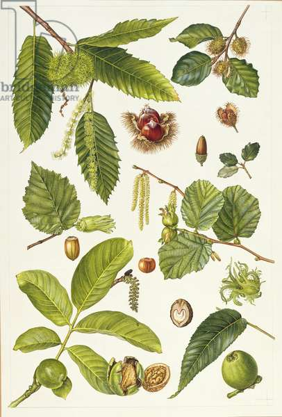 Walnut and other nut-bearing trees (w/c)