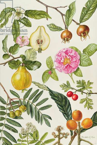 Quince and other fruit-bearing trees (w/c)